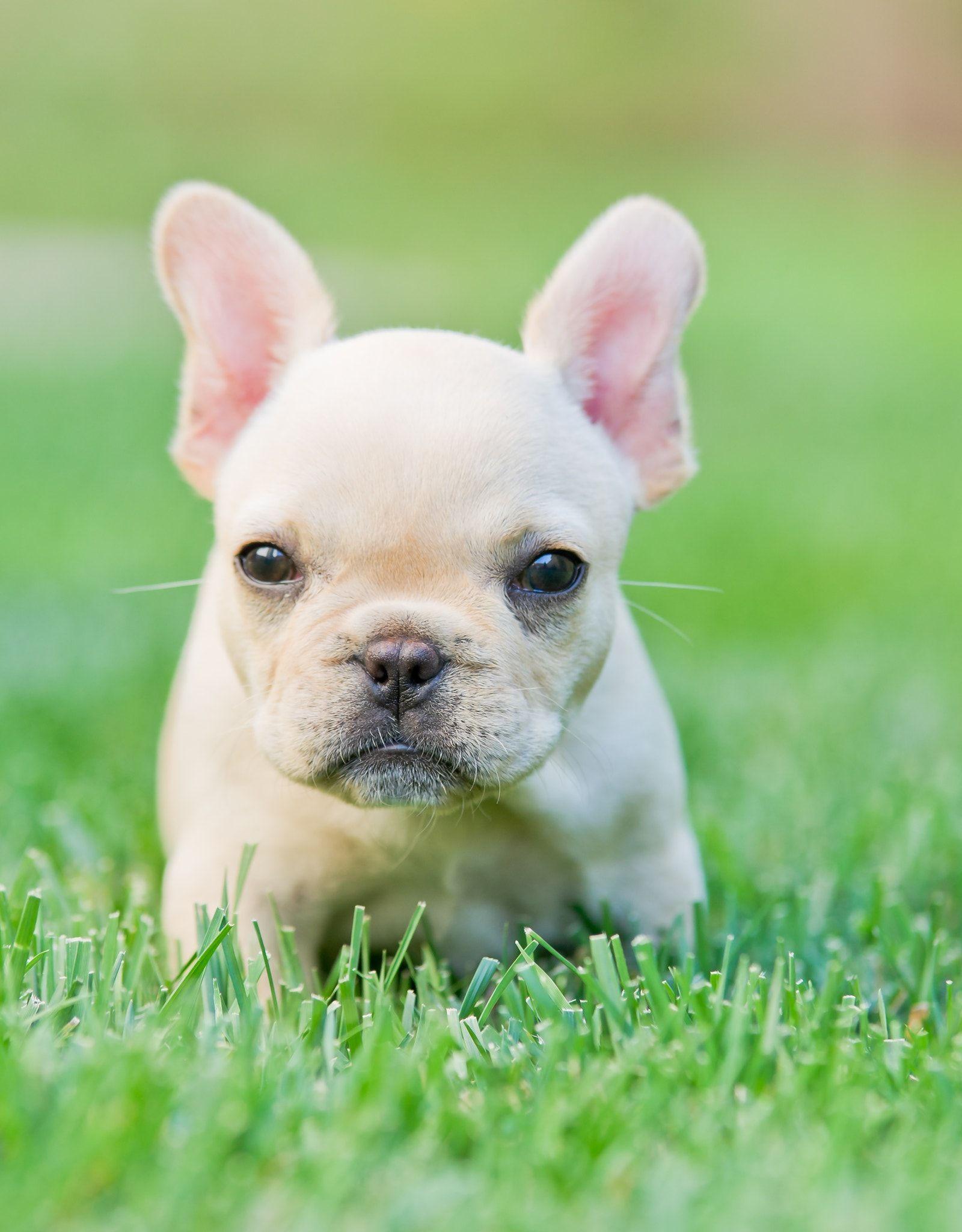 A French Bulldog Puppy Bulldog Puppies Cute Animals Baby Dogs