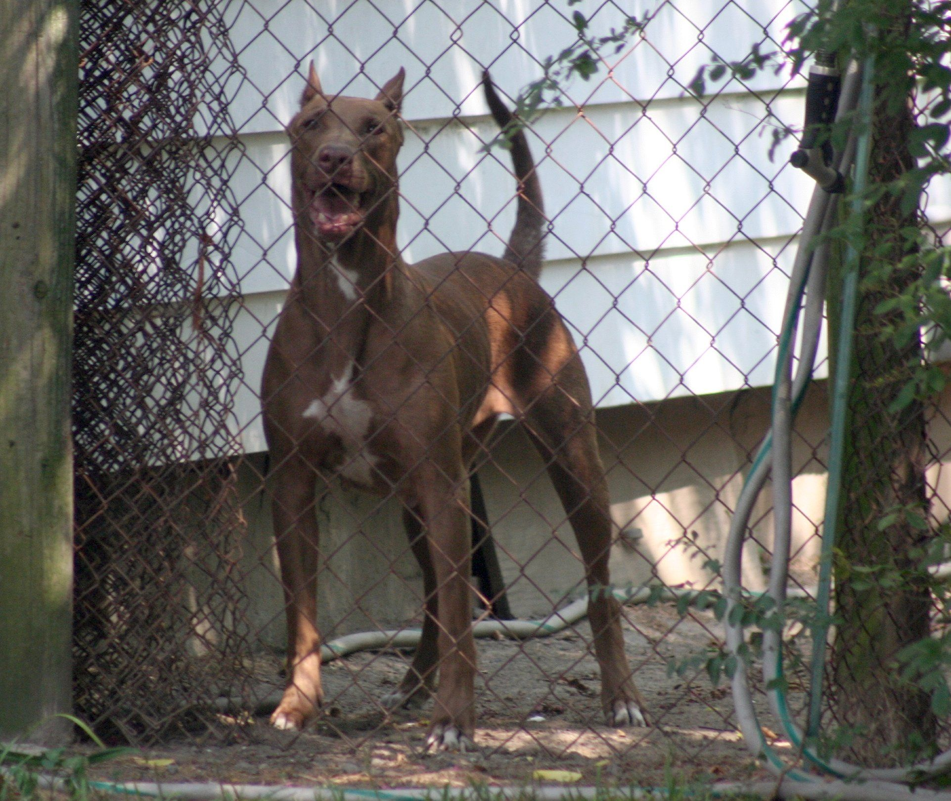 Doberman Pitbull Mix Doberman Mix Pitbull Mix Pitbulls