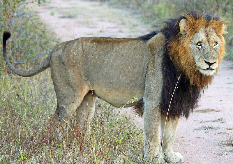 Panthera leo (Makhulu)