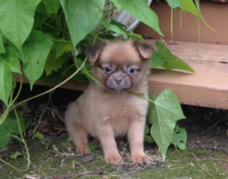 Adopt PomPoo puppies on Pets, Puppies, Poodle