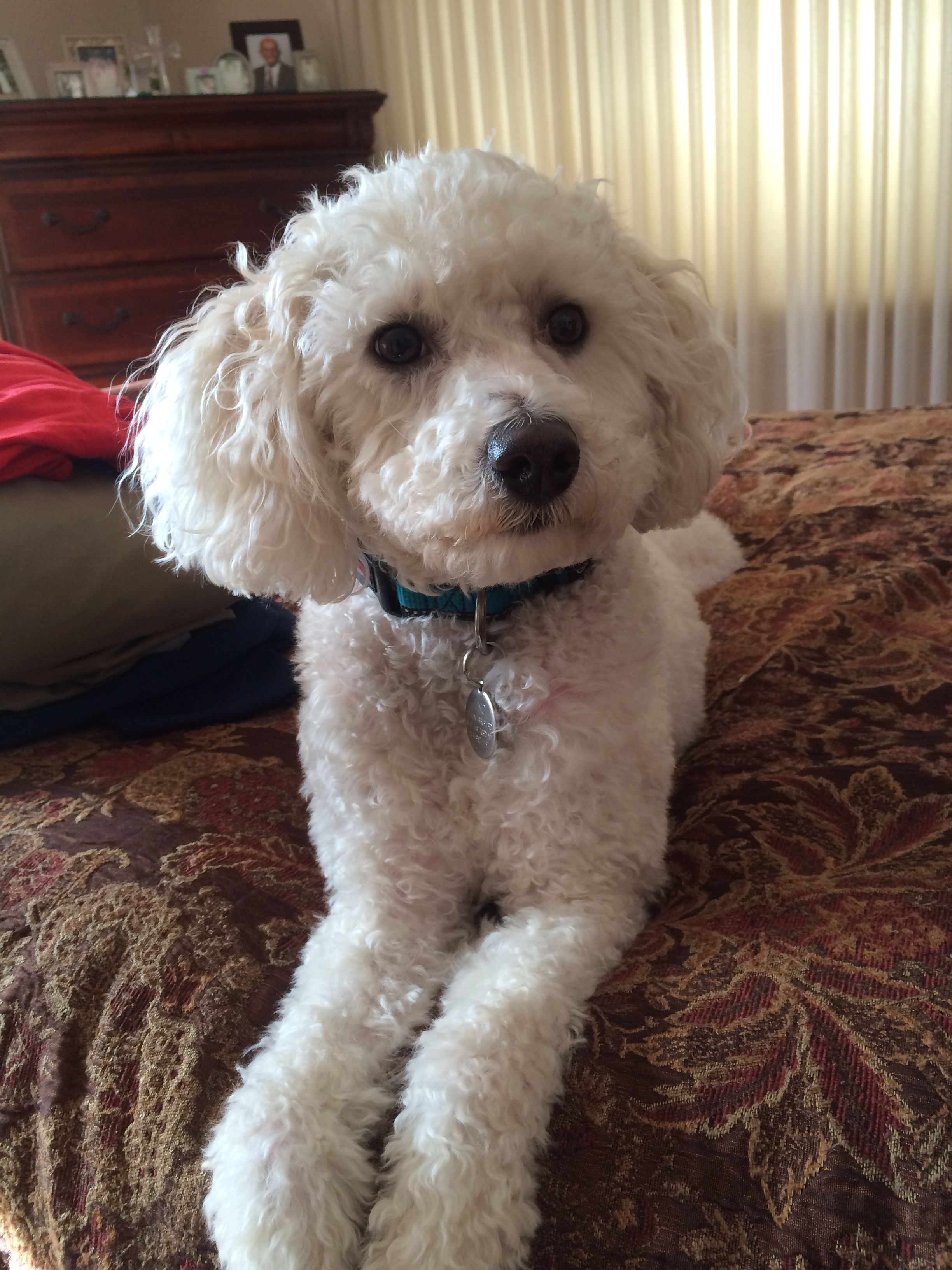 Finally Decided My Dog Finny Is Probably A Bichon Poodle Mix Like