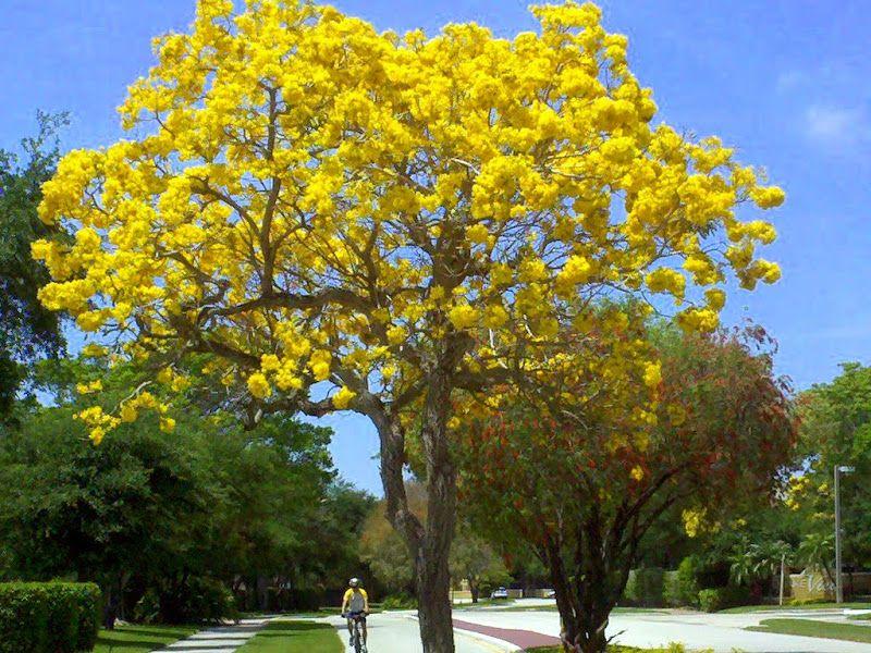 Gallery for trumpet tree tree landscape plants