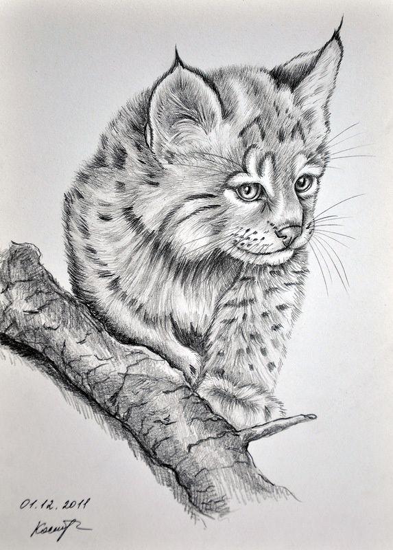 Рысь рисунок карандашом