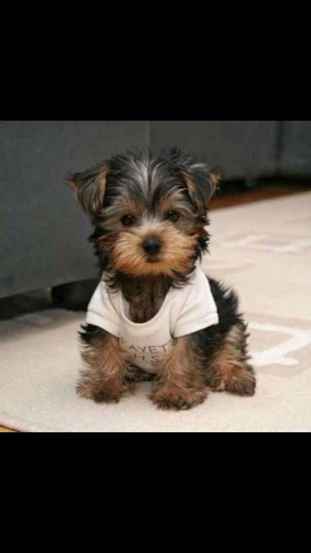 Yorkie Poo | Fur babies and cute stuff :) | Pinterest