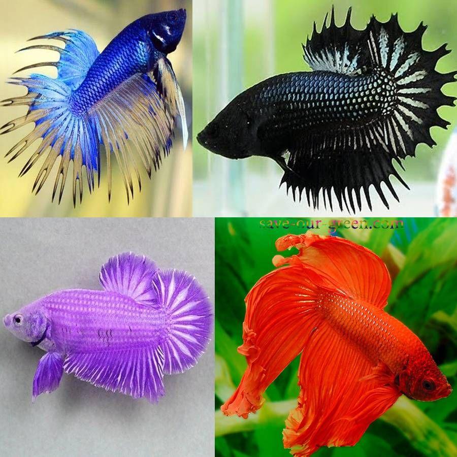 Colourful betta fishes animal kingdom pinterest for Cute betta fish