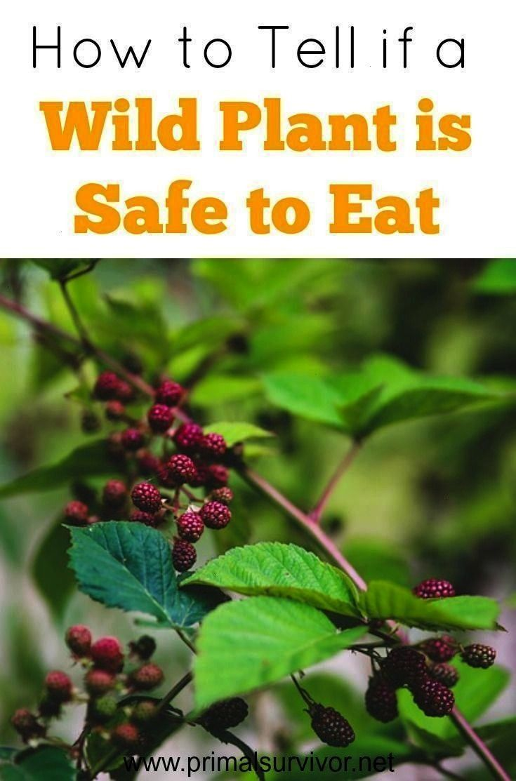 Tell if a Wild Plant is Safe to Eat -How to Tell if a Wild Plant is Safe to Eat -  Outdoor Emergenc