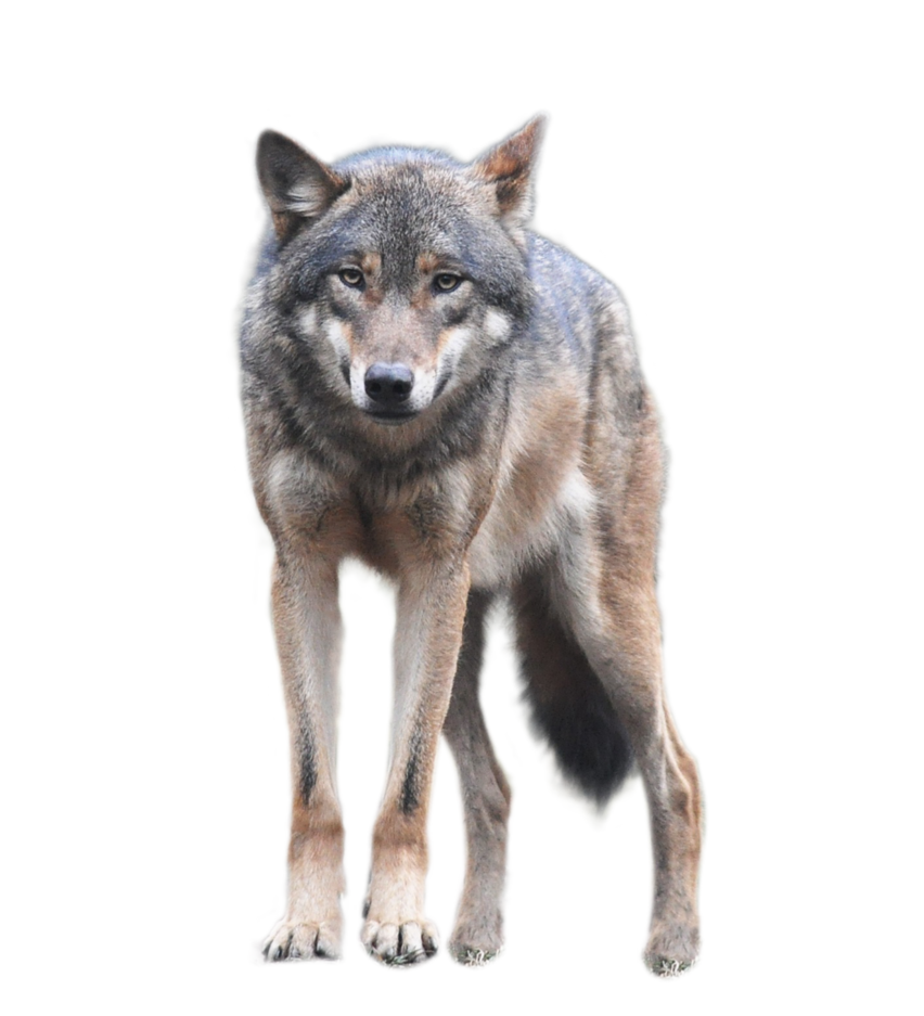 Wolf Standing An Looking Forwards Png Image Desert Animals Beautiful Wolves Wolf
