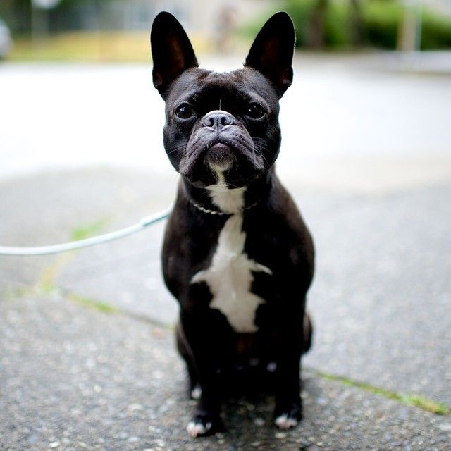 Mila French Bulldog Boston Terrier Mix Bute Amp Burnaby St