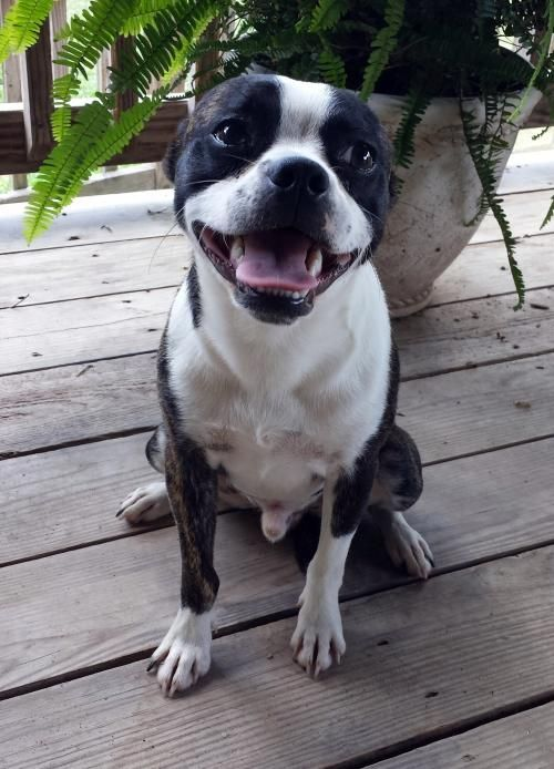 Meet Elvis, a Petfinder adoptable Boston Terrier Dog | Alvin, TX | You can fill out an adoption application online on our official website.HUNK-A-HUNK-A BURNING...