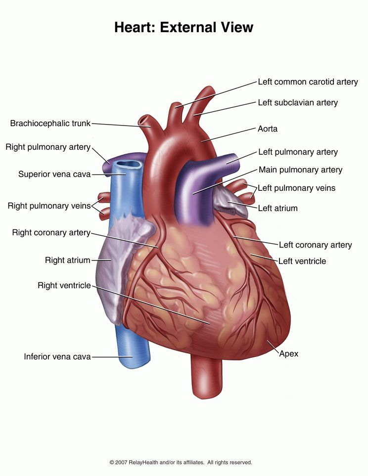External view of the human heart | Human Heart Reference Pictures ...