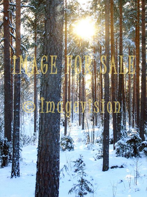 for sale snow forest and winter sun