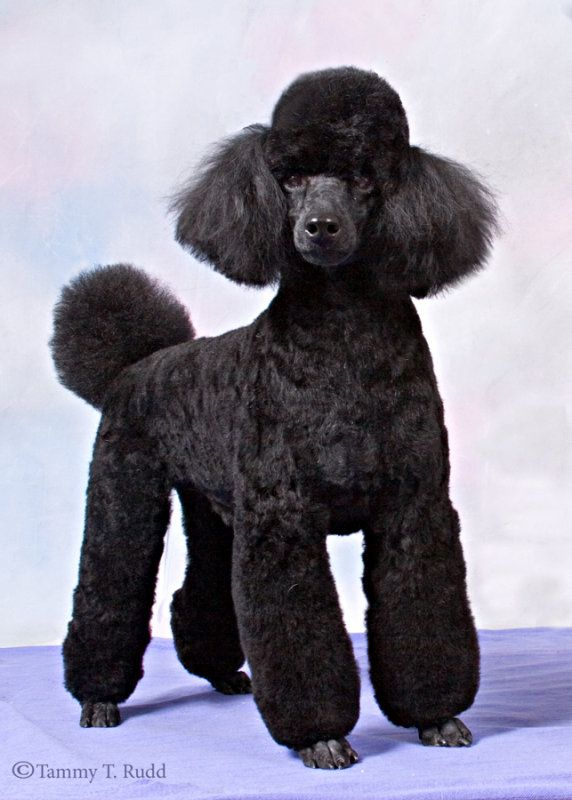 Black Miniature Poodle All Galleries Groom Dog Portraits