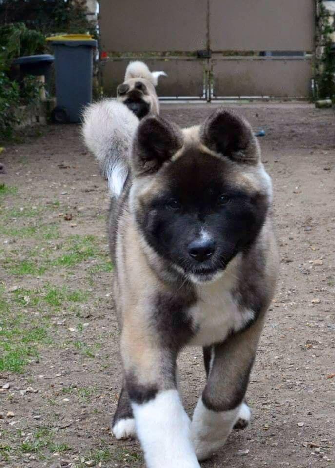 Pin Von Katharina Kappler Auf American Akita Akita Welpen Hunde Haustiere