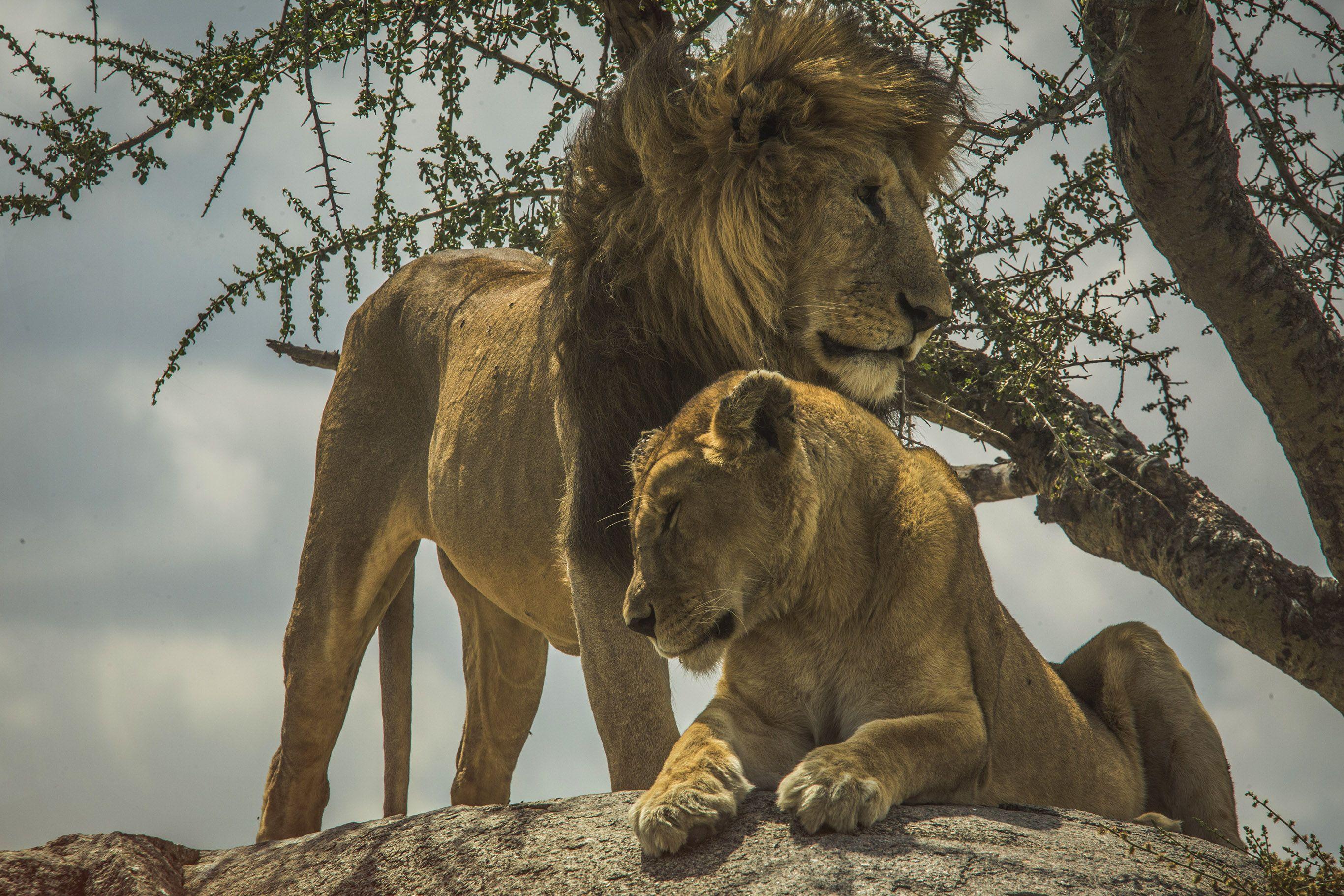The ABCs of Spotting lions on safari in Tanzania