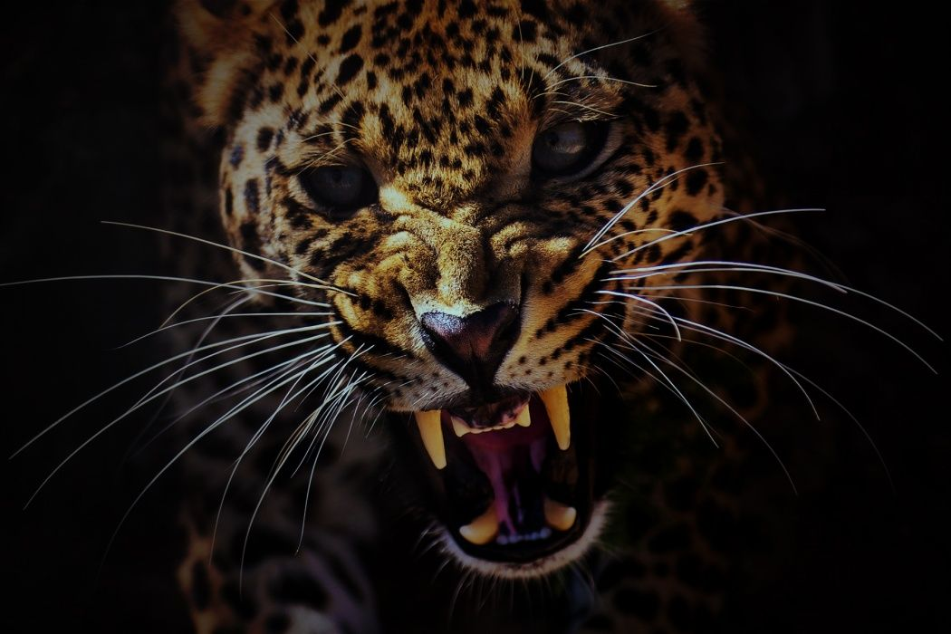 Photo Of Leopard Hissing Growling Baring Its Teeth Close Up Of Face Wallpaper Best Hd Wallpapers Animals Leopard Pictures Leopard Face Leopard roar wallpaper 1920x1080 jpg