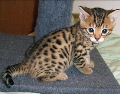 Baby Savannah Cat Chaton Bengal Cute Kittens Animales