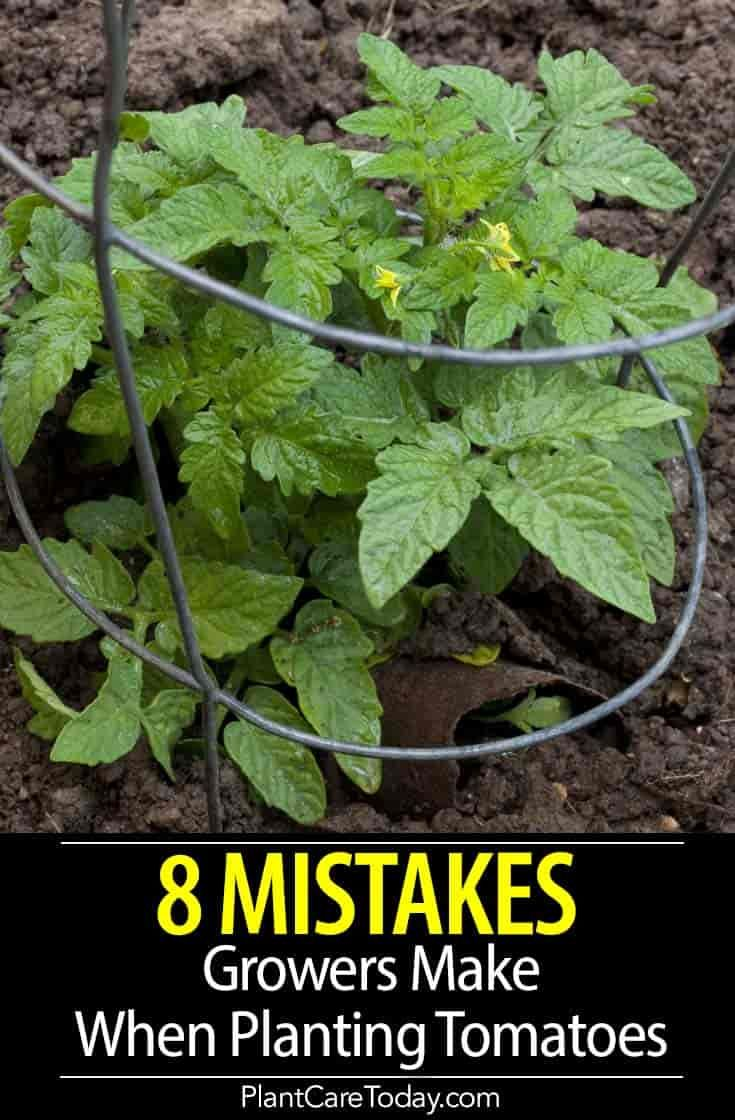 8 Tomato Plant Growing Mistakes - Do You Make Any?