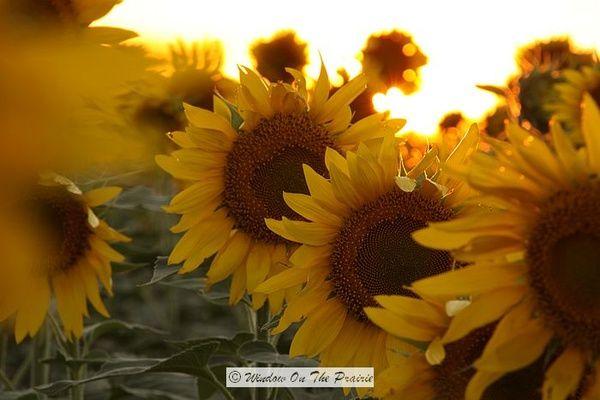 Sunflowers Sunflowers Sunflowers Sunflowers And Daisies Beautiful Flowers Love Flowers