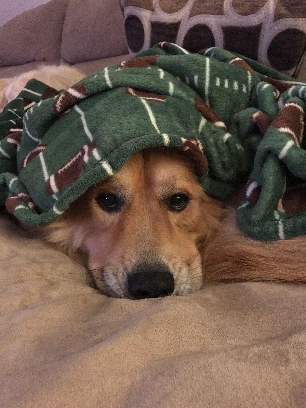 Adopt Twix On Adoptable Pets Golden Retriever Rescue Adoption