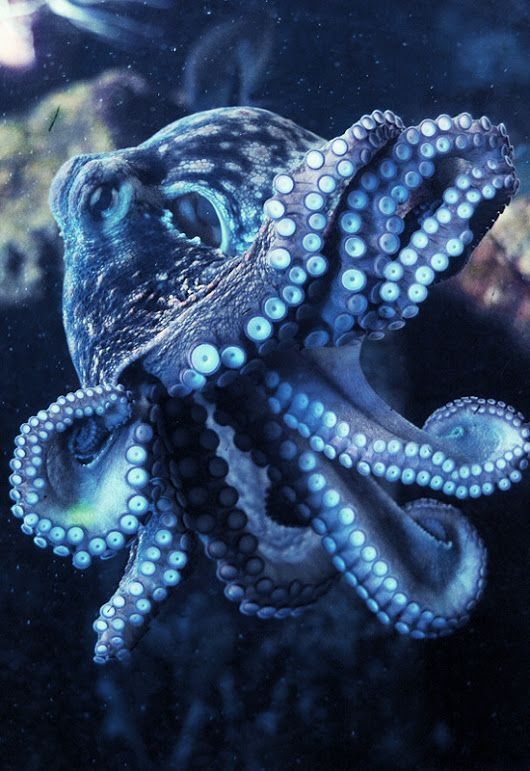 Pin By Philotimo C On Cephalopods In 2020 Beautiful Sea Creatures Octopus Underwater Creatures