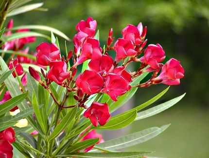 Tropical oleander tree oleander flower plant yellow oleander did you know the oleander tree comes with different color oleander flowers like yellow pink red and white oleander best of all oleander care is easy mightylinksfo Gallery