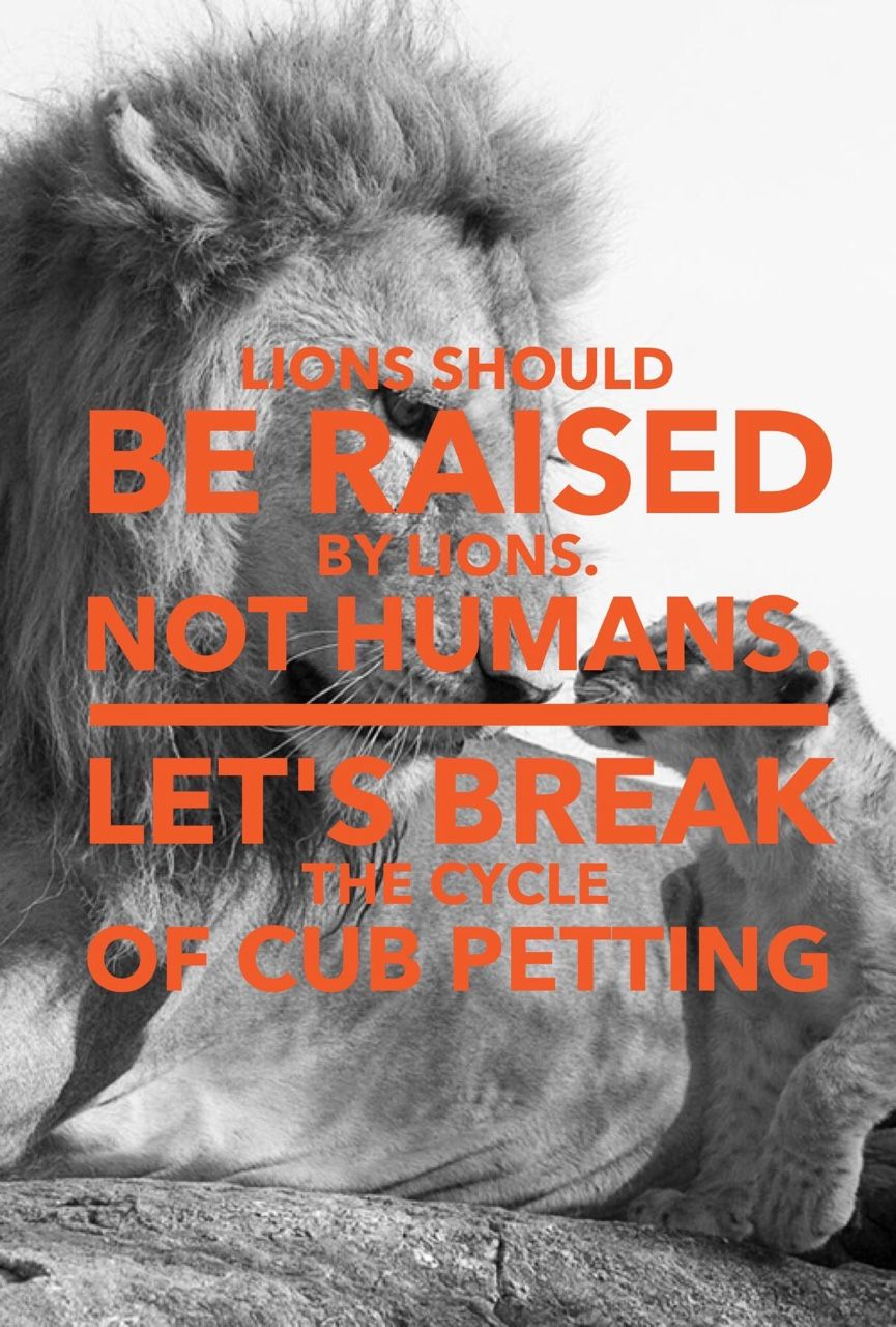 Think twice before doing volunteer work with lion cubs #stopcannedhunting #knuffelfarms