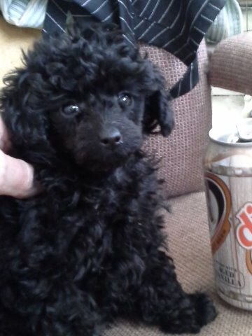 52 Weeks Of Dalin Timi The Tiny Black Toy Poodle Girl Page 53