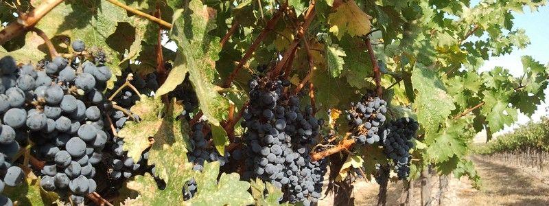 Vineyards | Cairdeas Winery