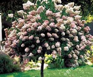Hortensjowe Drzewko Hortensja Renhy Na Pniu 4092204574 Oficjalne Archiwum Allegro Hydrangea Tree Growing Hydrangeas Plants