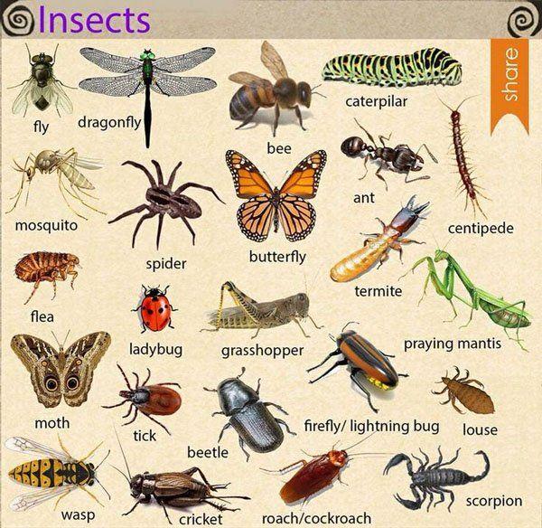 Названия насекомых на английском - INSECTS   OK English