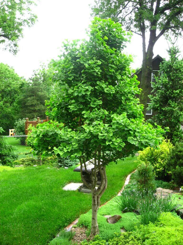Ginkgo Jade Butterfly Landscaping Trees Backyard Landscaping Maidenhair Tree