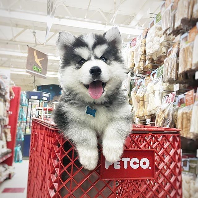 Petco Memphis Winchester Cute Husky Puppies Dog Friendly