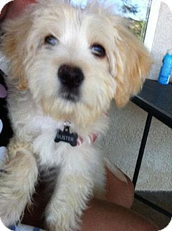 Benjamin Button A Special Needs Lhasa Apso Havanese Mix Puppy In