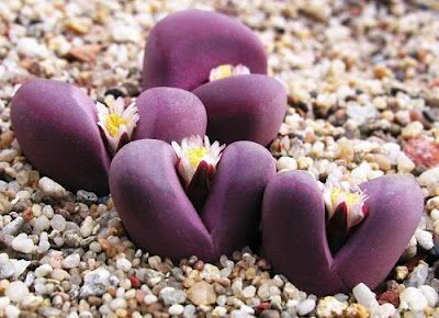 Lithops - Royal Flush