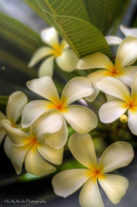 Singapore Plumerias-Taken in Wailea Maui. | Na Pua O Aloha | Pinterest