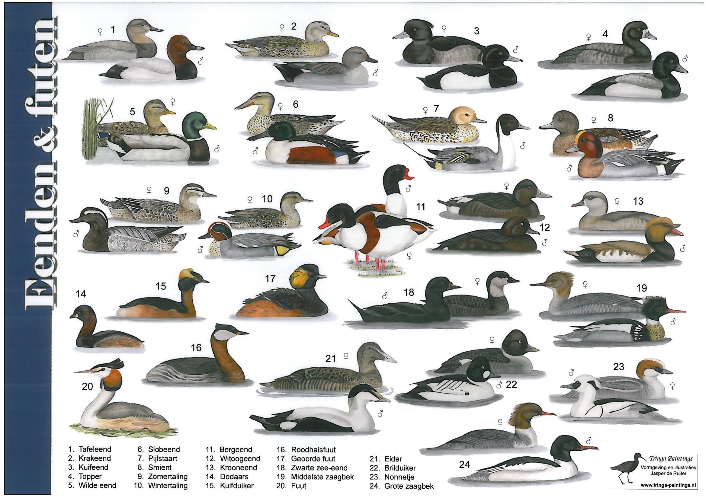 Spiksplinternieuw Eenden, futen en zaagbekken   Vogels, Natuur, Eenden UN-69