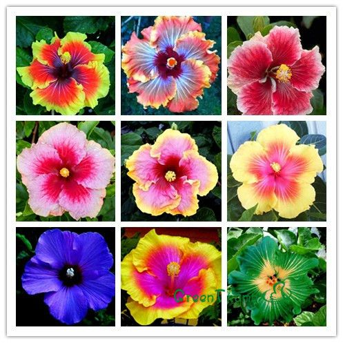 Flower Cluster Picture More Detailed Picture About Free Postage 9 Kinds Hibiscus Seeds Flower Favorites Of Butterfl Flower Seeds Hibiscus Flowers Flower Pots