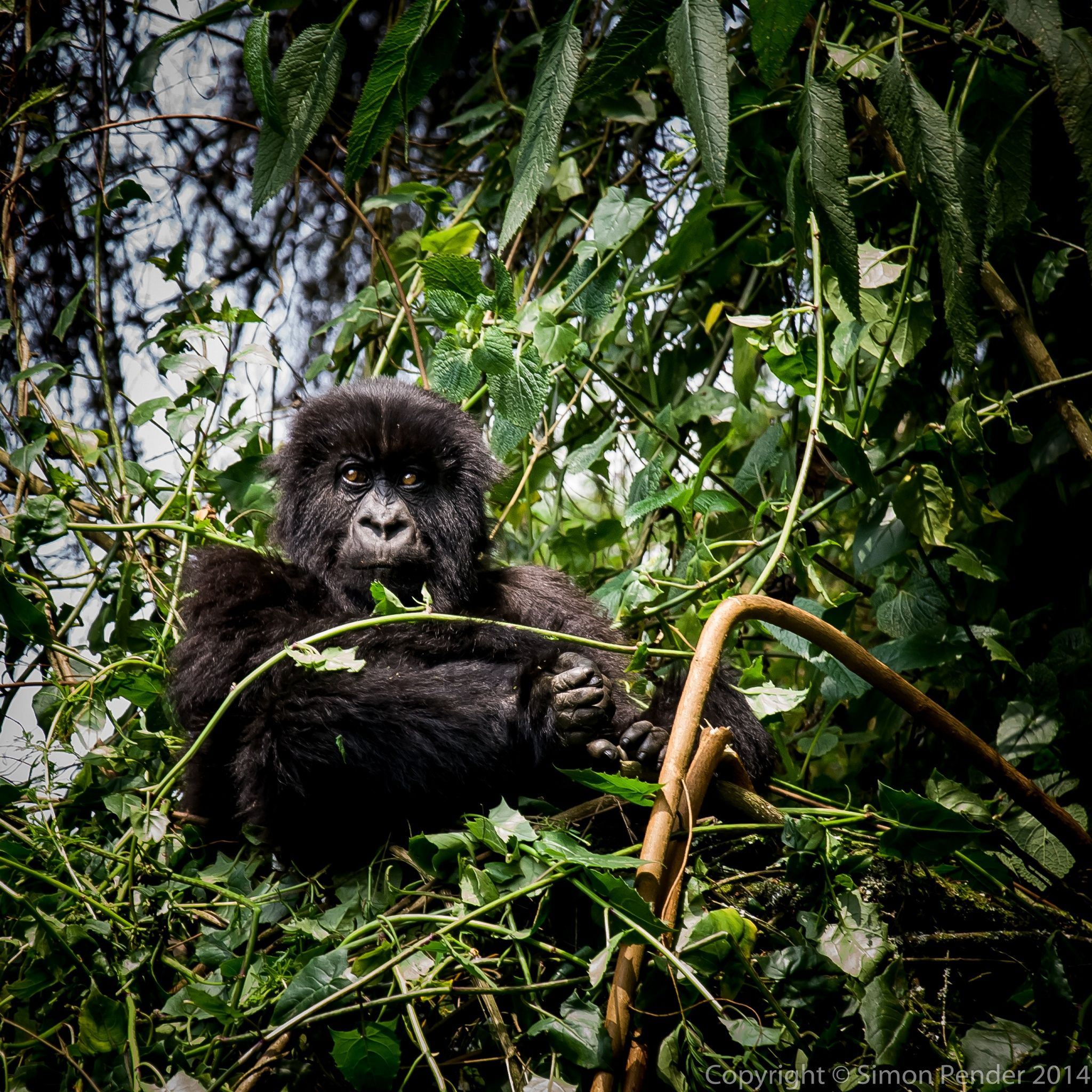 Gorilla Nest by Simon P on 500px