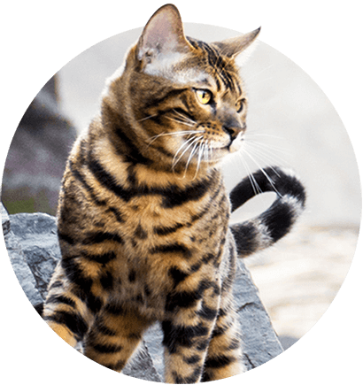 Silver Bengal Cats Kittens For Sale Wild Sweet Bengals Bengal Cat Bengal Cat Breeders Silver Bengal Cat
