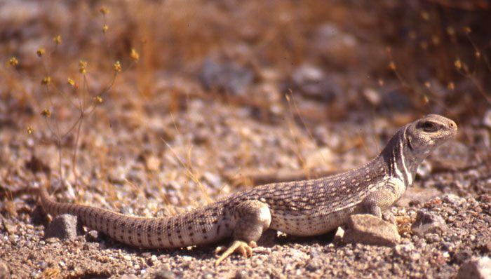 California+Desert+Animals | California Desert Animals | Desert ...