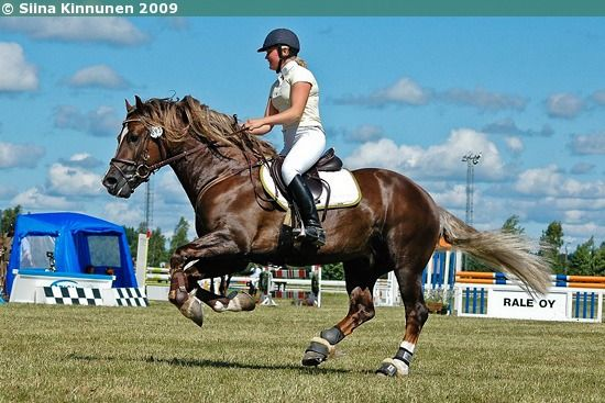 Welsh Cob (section D) stallion Kotimäen Magician