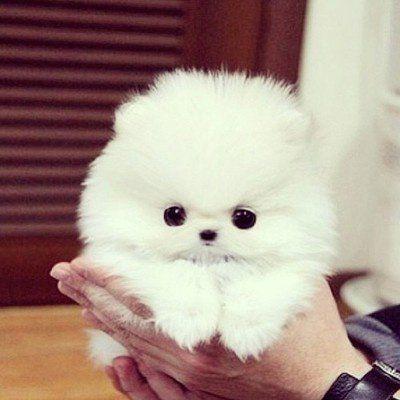 Den fluffigagse, sötaste och vitaste hund!!!!!!!!! #teacuppomeranianpuppy