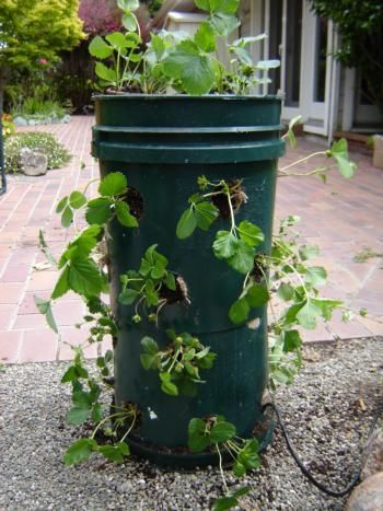 strawberry tower out of 5 gallon bucket!