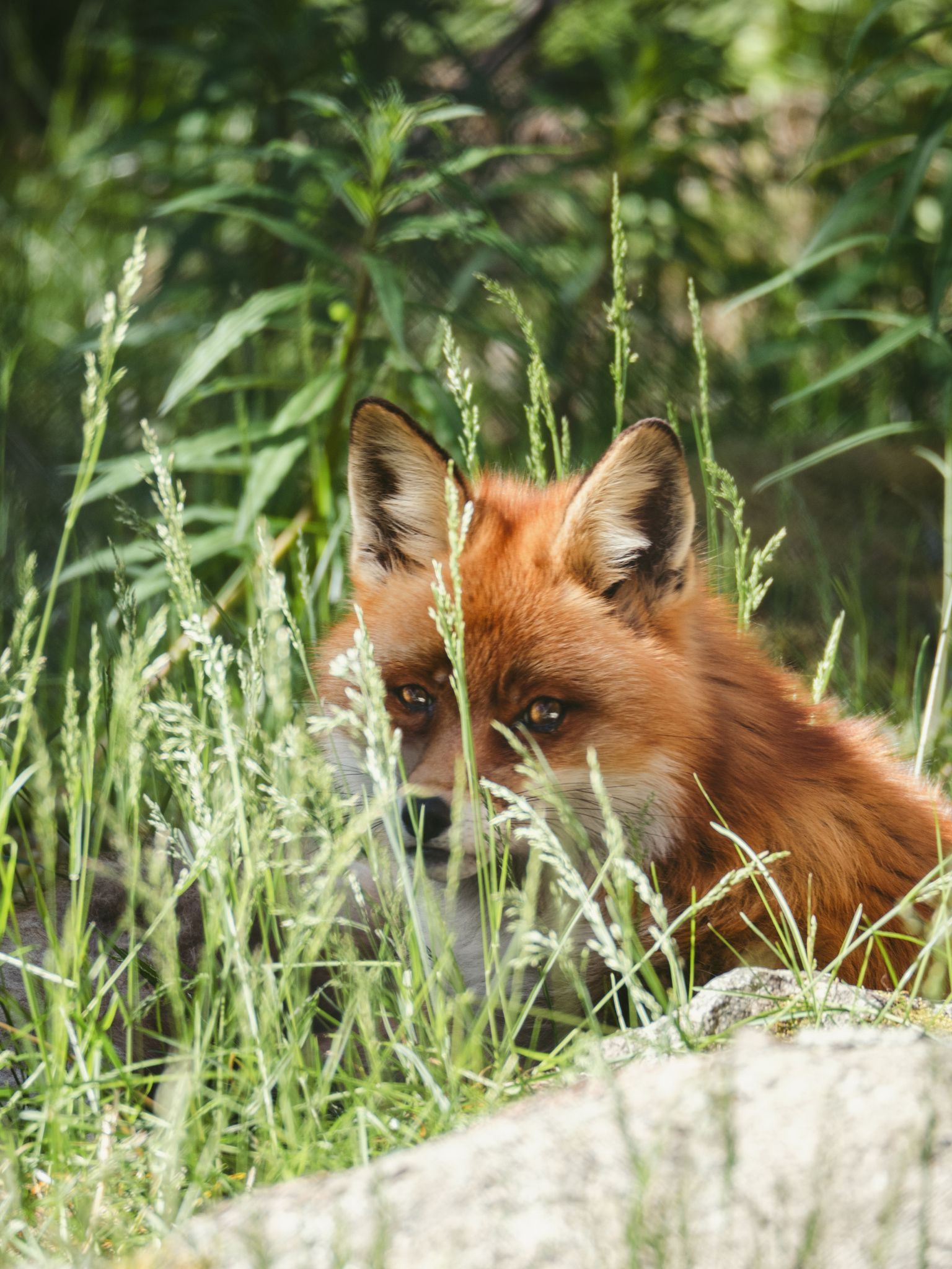 Red Fox by Sanni Vierelä on 500px