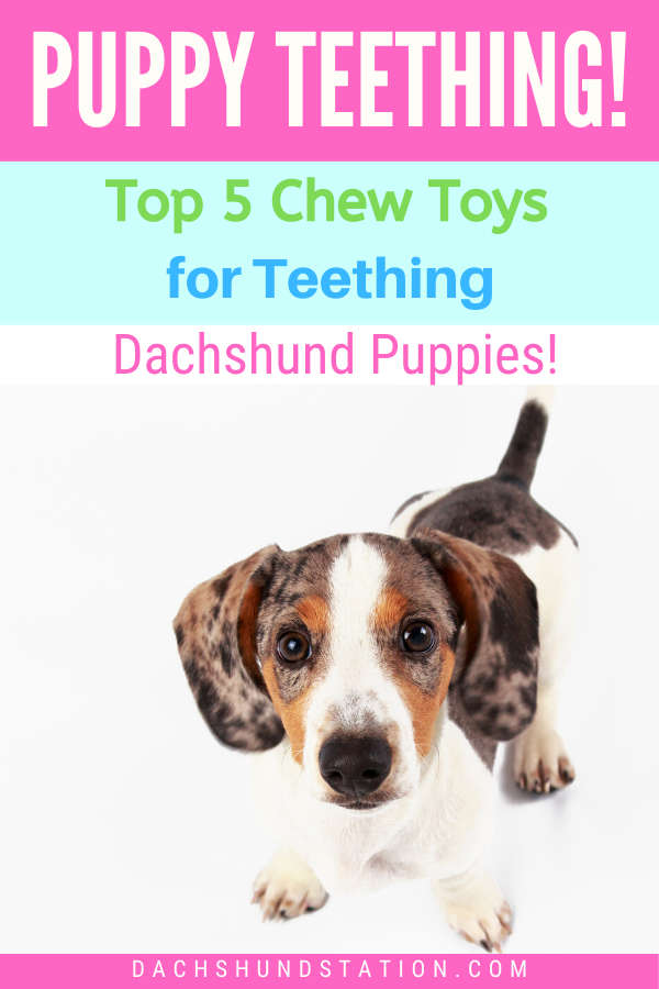 Full Easy Guide How To Survive Dachshund Puppy Teething Puppy