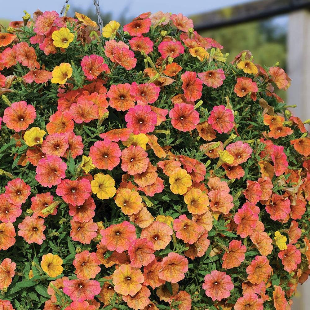 Petunia Indian Summer Annual Bedding Plants Van Meuwen Annual Bedding Plants Petunias Plants