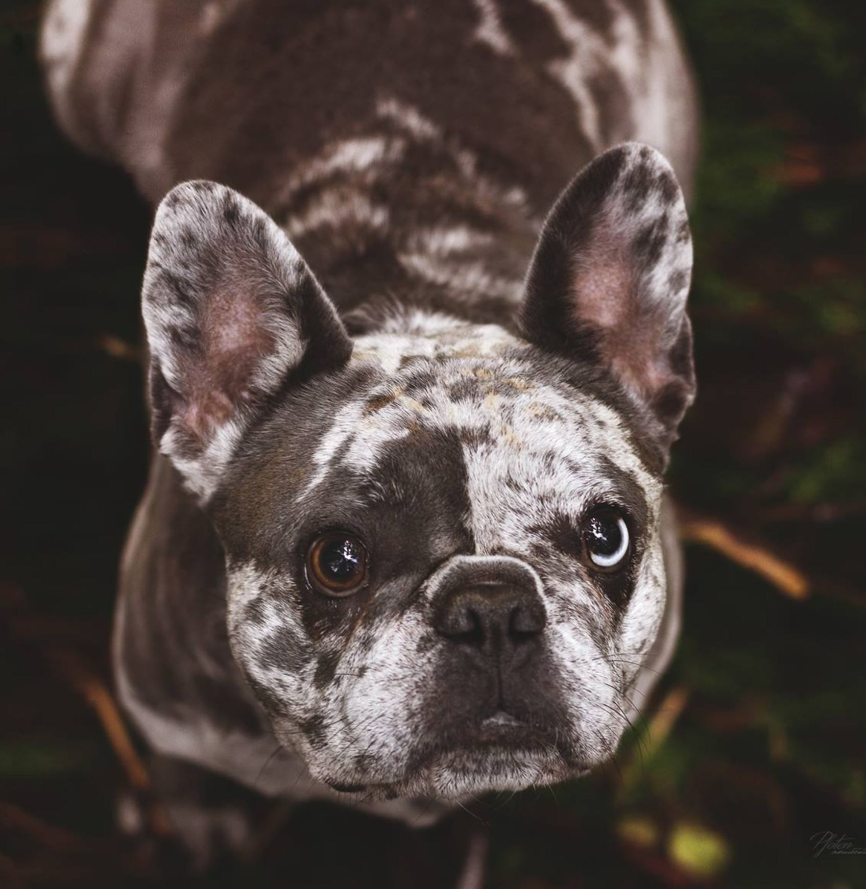 Blue Merle French Bulldog Dog Photography Merle French Bulldog