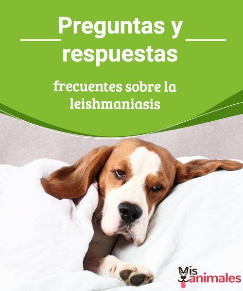 Preguntas y respuestas frecuentes sobre la leishmaniasis La leishmaniasis es una enfermedad que se transmite a través de un mosquito y que en la mayoría de los casos puede ser mortal. #inquietudes #prevenir #información #salud