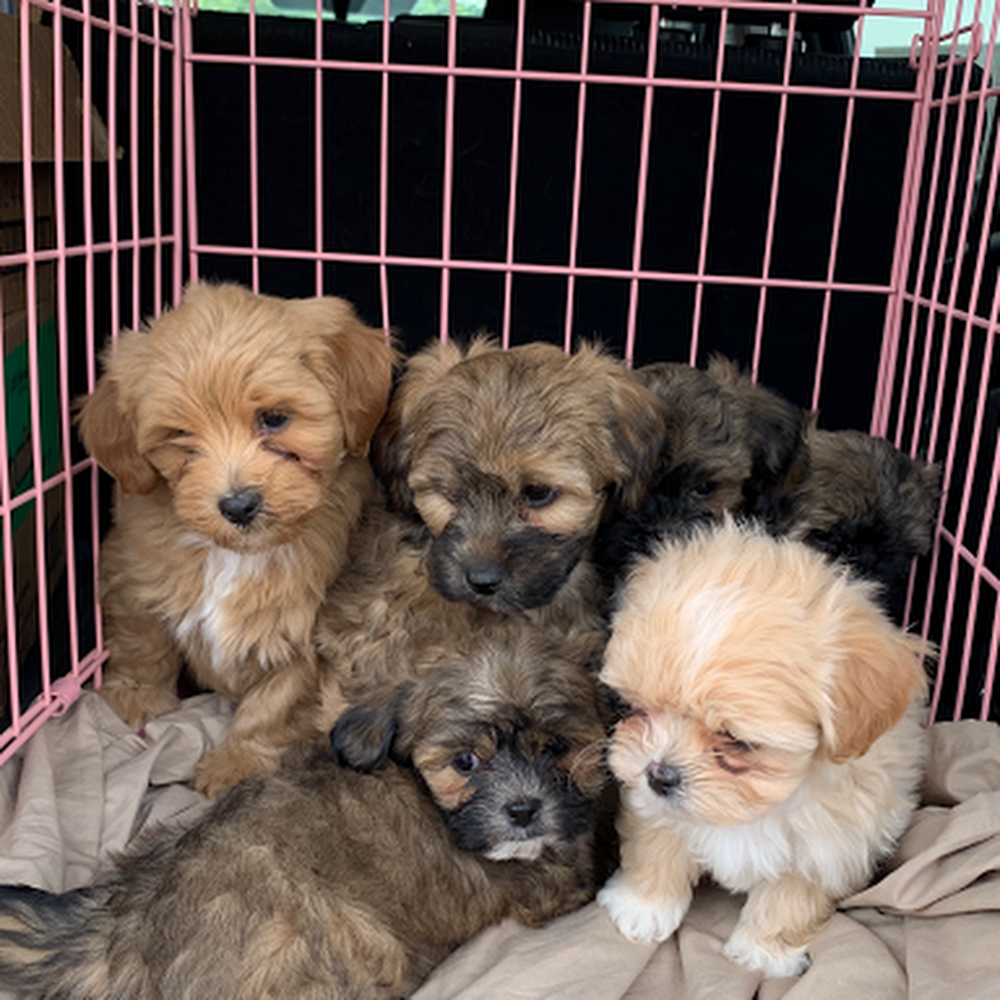 Arizona Mini Shih Poo Puppies Shih Poo Puppy Sales In 2020 Shih Poo Puppies Shipoo Puppies Shih Poo