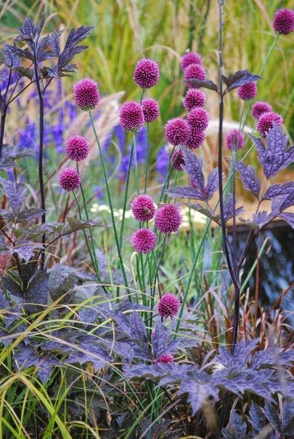 Garlic capitate and Cimicifuga group Atro English Gardens, Hampton Court Flower…